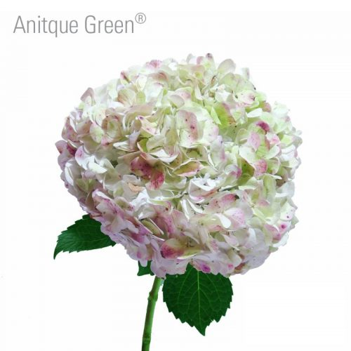 antique-green-hydrangea