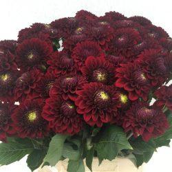 black-dahlia-flower