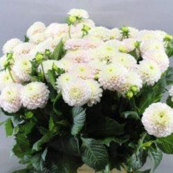blush-dahlia-flower