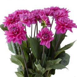 dark-pink-dahlia-flower