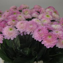 light-pink-dahlia