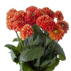 Orange-dahlia-flower