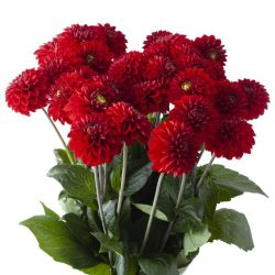 red-dahlia-flower