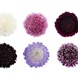 scabiosa-flower-assorted