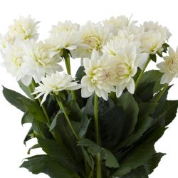 white-dahlia-flower