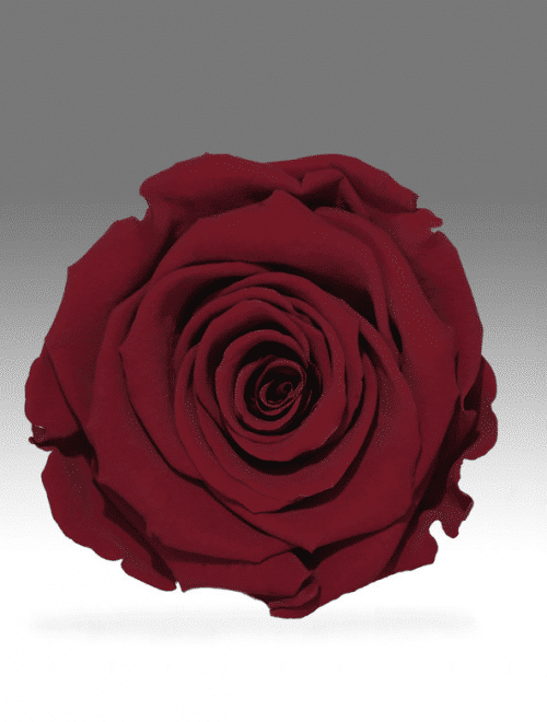 dark-red-preserved-rose