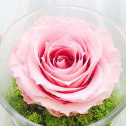 pink preserved rose gift