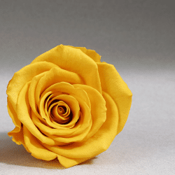 yellow-preserved-rose