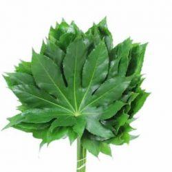 aralia-leaf
