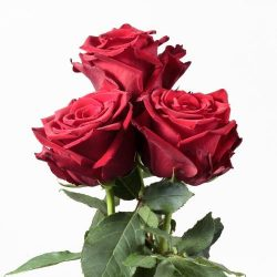 explorer-red-roses-side-view