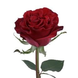 hearts-red-rose-bloom