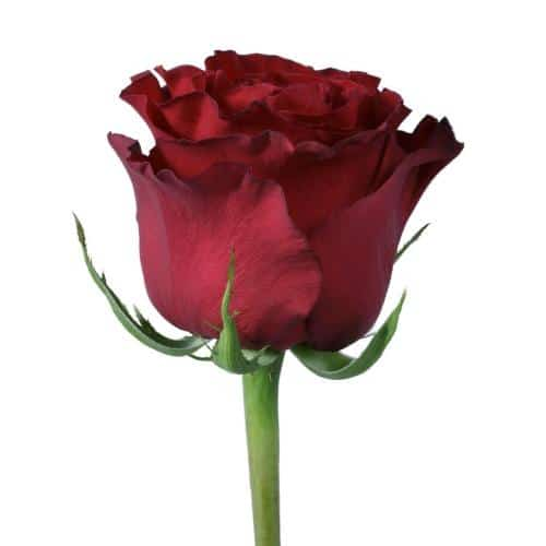 hearts-red-roses-bud-stage