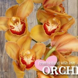 orange-cymbidium-orchid