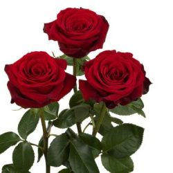freedom-red-roses-side-view