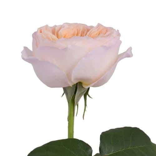 peach-garden-rose-side-view