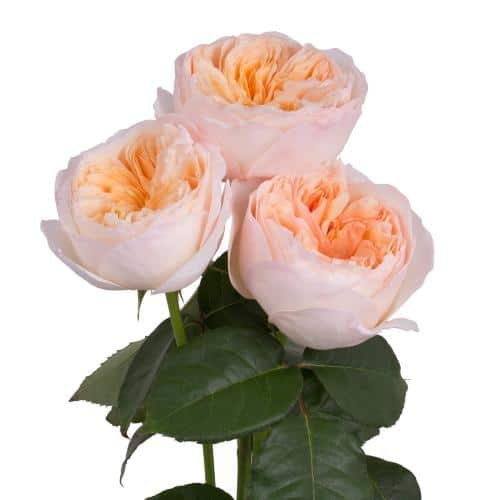 peach-garden-roses-side-view
