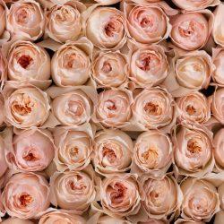 peach-garden-roses-top-view