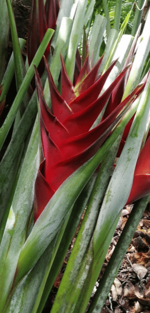 heliconia princes of darkness
