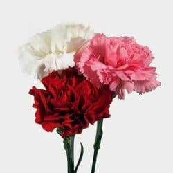 valentines carnations