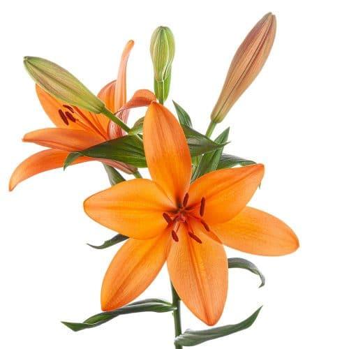 orange hybrid lily
