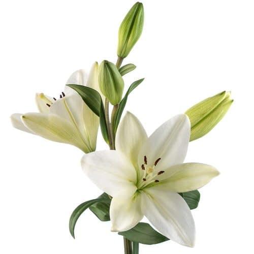 hybrid lily white