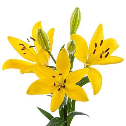 yellow hybrid lily