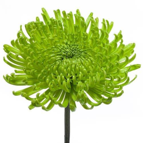 green spidermum