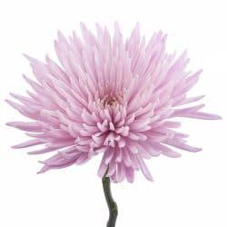 lavender spidermum