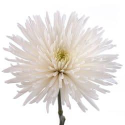 white spidermum