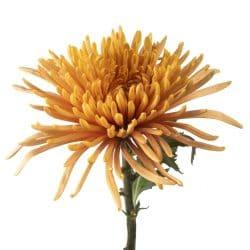 bronze spidermum flower